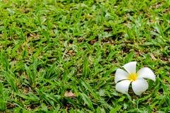 Πτώση λουλουδιών Plumeria Στοκ Φωτογραφίες