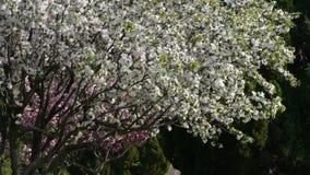 Πτώση πετάλων τα όμορφα άνθη κερασιών τρέμουν στον αέρα, πεύκο απόθεμα βίντεο