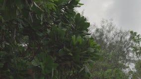 Πτώση πτώσεων βροχής στα πράσινα φύλλα ενός τροπικού δέντρου απόθεμα βίντεο