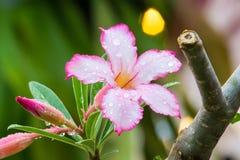 Πτώση δροσιάς στα λουλούδια Στοκ Φωτογραφία