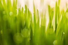 Πτώση δροσιάς στα φρέσκα wheatgrass με τη φύση bokeh, για τη φύση backg Στοκ φωτογραφίες με δικαίωμα ελεύθερης χρήσης