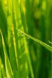 Πτώση δροσιάς στα φύλλα χλόης Στοκ Εικόνα