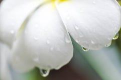 Πτώση δροσιάς στο λουλούδι plumeria Στοκ Φωτογραφία