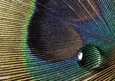 Πτώση σε ένα φτερό peacock Στοκ φωτογραφία με δικαίωμα ελεύθερης χρήσης