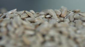 Πτώση σπόρων ηλίανθων σπόρους ξεφλουδισμένους στους σωρός ηλίανθων απόθεμα βίντεο