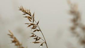 Πτώση της δροσιάς στη χλόη που φυσά στον αέρα απόθεμα βίντεο