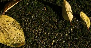 Πτώση της δροσιάς το πρωί στο κίτρινο φύλλο απόθεμα βίντεο