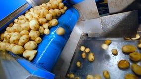 Πτώση των καθαρών βολβών πατατών επάνω σε έναν άλλο μεταφορέα απόθεμα βίντεο