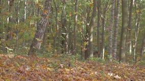 Πτώση φύλλων στο δάσος φθινοπώρου απόθεμα βίντεο