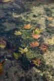 Πτώση φύλλων φθινοπώρου στο νερό στοκ εικόνα