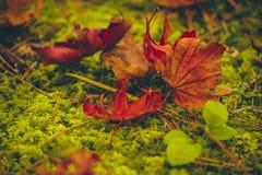 Πτώση φύλλων σφενδάμου στο πάτωμα, φθινόπωρο όμορφο Στοκ Φωτογραφίες