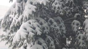 Πτώση χιονιού και καταθέσεις του χιονιού στο δέντρο έλατου απόθεμα βίντεο