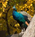 πτώση peacock Στοκ φωτογραφία με δικαίωμα ελεύθερης χρήσης