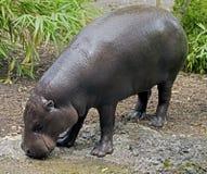 Πυγμαίο hippopotamus 7 Στοκ φωτογραφία με δικαίωμα ελεύθερης χρήσης