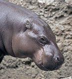 Πυγμαίο hippopotamus 8 Στοκ φωτογραφίες με δικαίωμα ελεύθερης χρήσης
