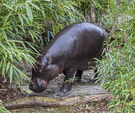 Πυγμαίο hippopotamus 13 Στοκ φωτογραφία με δικαίωμα ελεύθερης χρήσης