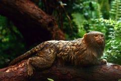 Πυγμαίο marmoset στοκ φωτογραφίες με δικαίωμα ελεύθερης χρήσης