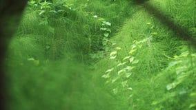 Πυκνά αλσύλλια της πράσινης χλόης που μοιάζει με κωνοφόρο στο δάσος απόθεμα βίντεο