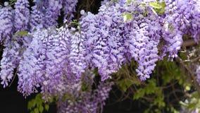 Πυκνές ιώδεις συστάδες λουλουδιών Wisteria που αναρριχείται στις εγκαταστάσεις στο μέτριο αέρα, 4K φιλμ μικρού μήκους
