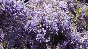 Πυκνές ιώδεις συστάδες λουλουδιών Wisteria που αναρριχείται στις εγκαταστάσεις στο μέτριο αέρα, 4K απόθεμα βίντεο