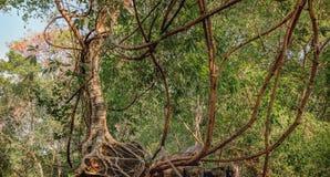 Πυκνή ζούγκλα κοντά στο ναό Beng Melea, Καμπότζη Στοκ φωτογραφία με δικαίωμα ελεύθερης χρήσης
