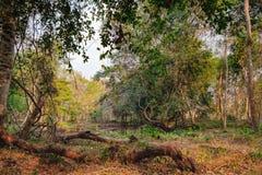 Πυκνή ζούγκλα κοντά στο ναό Beng Melea, Καμπότζη Στοκ Εικόνα