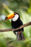 πυκνή toucan βλάστηση Στοκ φωτογραφία με δικαίωμα ελεύθερης χρήσης