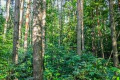 Πυκνό δάσος ένα αδιαπέραστο αλσύλλιο ενεργειακή εικόνα έννοιας ανασκόπησης Ρωσία δέντρο πεδίων Στοκ Φωτογραφία