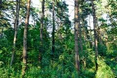 Πυκνό δάσος ένα αδιαπέραστο αλσύλλιο ενεργειακή εικόνα έννοιας ανασκόπησης Ρωσία δέντρο πεδίων Στοκ εικόνες με δικαίωμα ελεύθερης χρήσης