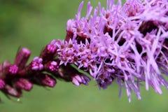 Πυκνό καμμένος αστέρι, ομοφυλοφιλικό spicata Liatris φτερών λιβαδιών Στοκ Εικόνες