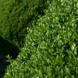 Πυξάρι topiary Στοκ Εικόνες