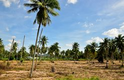 Πυράκτωση της φυτείας μανιόκων και του υποβάθρου μπλε ουρανού στοκ εικόνα με δικαίωμα ελεύθερης χρήσης
