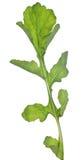 Πυραύλων σαλάτας φύλλο που απομονώνεται πράσινο στο λευκό Στοκ Φωτογραφίες