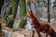 Πυρκαγιά αλεπούδων στα ξύλα στοκ φωτογραφίες