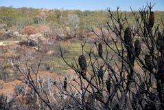 Πυρκαγιά θάμνων της Αυστραλίας: μμένη βουνοπλαγιά με το banksia seedpods Στοκ Εικόνες