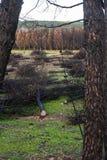 Πυρκαγιά στο δάσος πεύκων Στοκ εικόνες με δικαίωμα ελεύθερης χρήσης