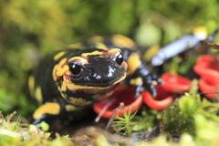 πυρκαγιά salamander Στοκ Εικόνα