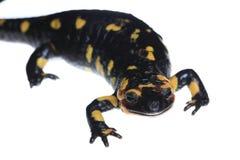 πυρκαγιά salamander Στοκ Φωτογραφία