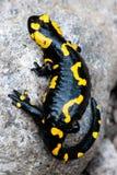πυρκαγιά salamander Στοκ φωτογραφίες με δικαίωμα ελεύθερης χρήσης