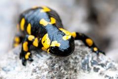 πυρκαγιά salamander στοκ εικόνα με δικαίωμα ελεύθερης χρήσης