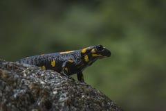 Πυρκαγιά salamander στοκ φωτογραφίες