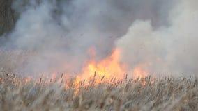 Πυρκαγιές ή πυρκαγιά θύελλας στη δασική στέπα Τεράστιο ποσό των ξηρών φλογών χλόης υψηλών στις φλόγες Καίγοντας θάμνοι, χλόη φιλμ μικρού μήκους