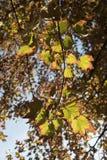Πυροβοληθείς του κιτρινωπού φύλλου με την αντανάκλαση ηλιοβασιλέματος στοκ εικόνες