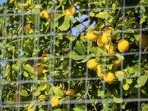 Πυροβολισμός ενός δέντρου λεμονιών που προστατεύεται από ένα enclosement στοκ εικόνες με δικαίωμα ελεύθερης χρήσης