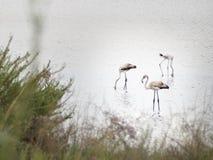 Πυροβολισμός των φλαμίγκο που χαλαρώνουν σε ένα προστατευμένο oasi στοκ φωτογραφία με δικαίωμα ελεύθερης χρήσης