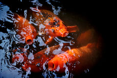 Χρυσοποίκιλτος κυπρίνος Στοκ φωτογραφία με δικαίωμα ελεύθερης χρήσης