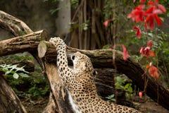 Πυροβοληθείς της περσικής λεοπάρδαλης Στοκ Εικόνες
