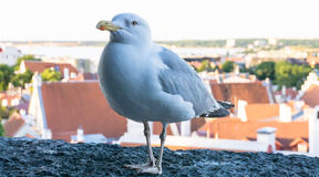 Πυροβολισμός λεπτομερειών καρτών πουλιών γλάρων Στοκ Εικόνες