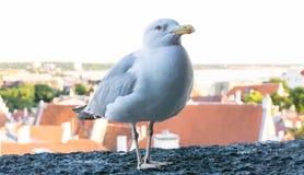 Πυροβολισμός λεπτομερειών καρτών πουλιών γλάρων Στοκ φωτογραφίες με δικαίωμα ελεύθερης χρήσης