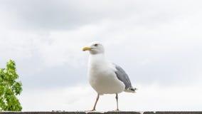 Πυροβολισμός λεπτομερειών καρτών πουλιών γλάρων Στοκ εικόνες με δικαίωμα ελεύθερης χρήσης